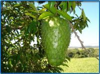 Graviola of zuurzak, de vrucht die vooralsnog helaas geen ideaal geneesmiddel blijkt te zijn om de paranoïa van complotdenkers te behandelen.